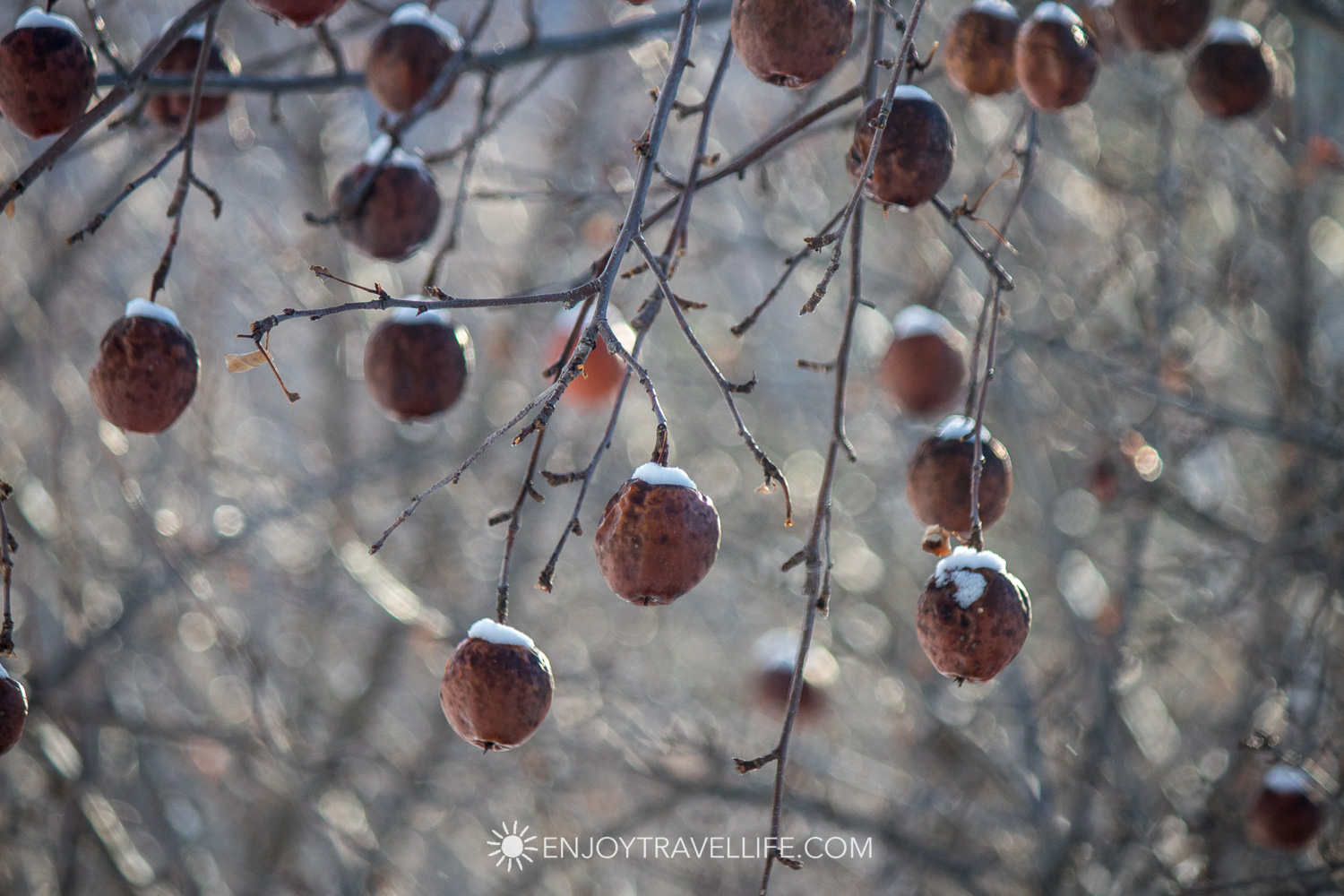 Winter in Bethel Maine | Snow Covered Apples on the Tree