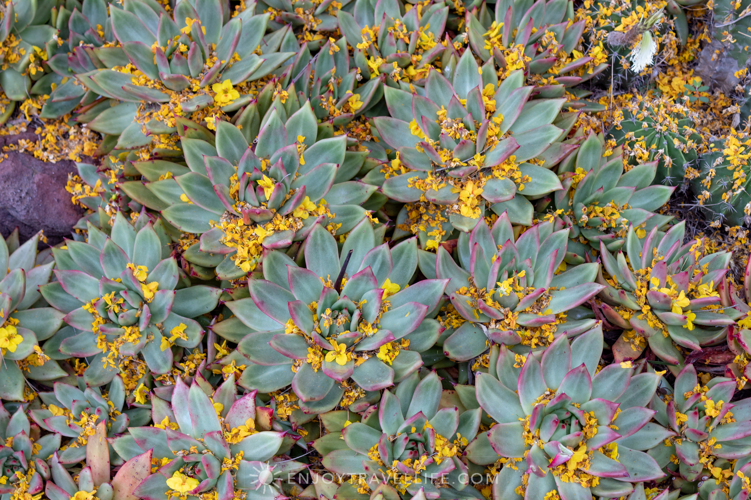 Succulents in Bloom - The Huntington Desert Garden
