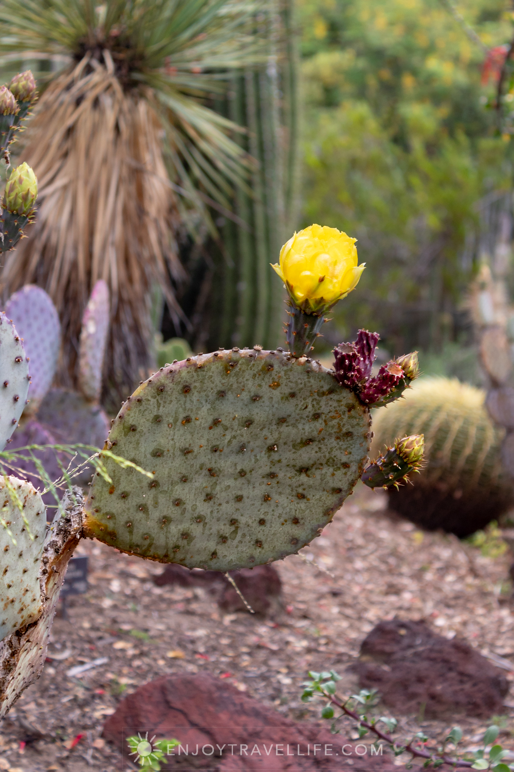 Cactus in Bloom - The Huntington Botanical Gardens