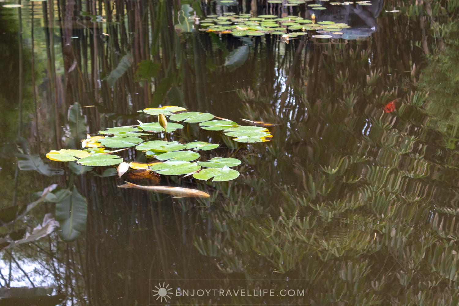 Koi under Lily Pads - The Huntington Botanical Gardens