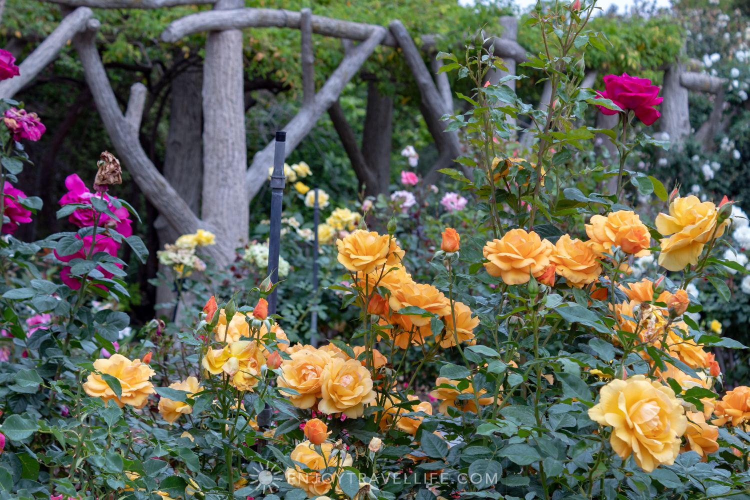 Roses in Bloom and Arbor - The Huntington Rose Garden