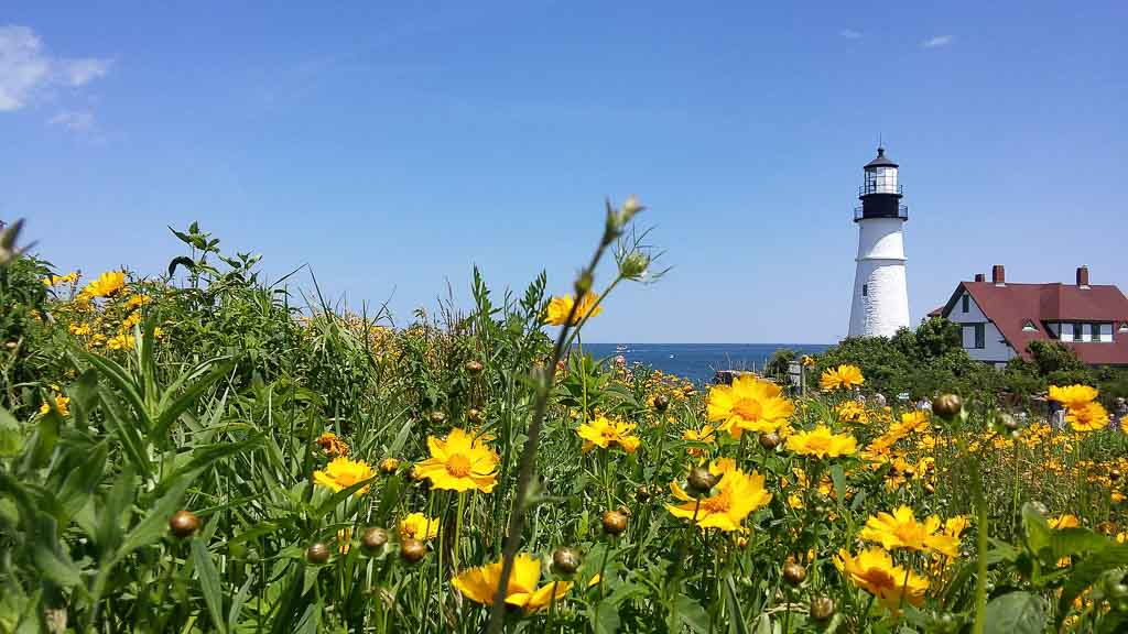 Field of coreopsis with a view of a lighthouse and the ocecan