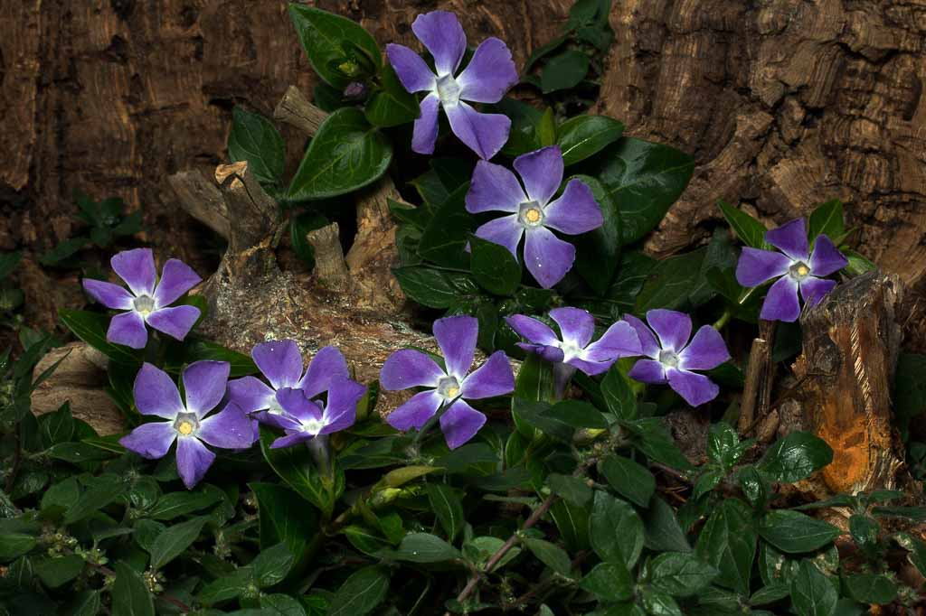 "Vinca minor or ""Periwinkle,"" a drought tolerant ground cover"