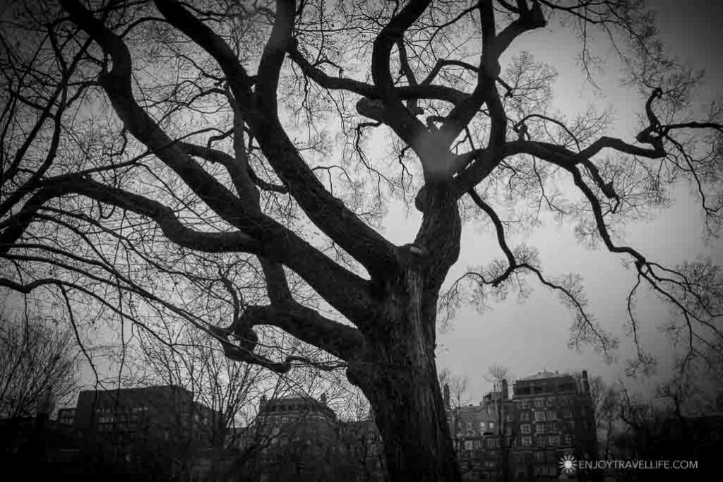 Silhouette of a scary tree in Boston Common