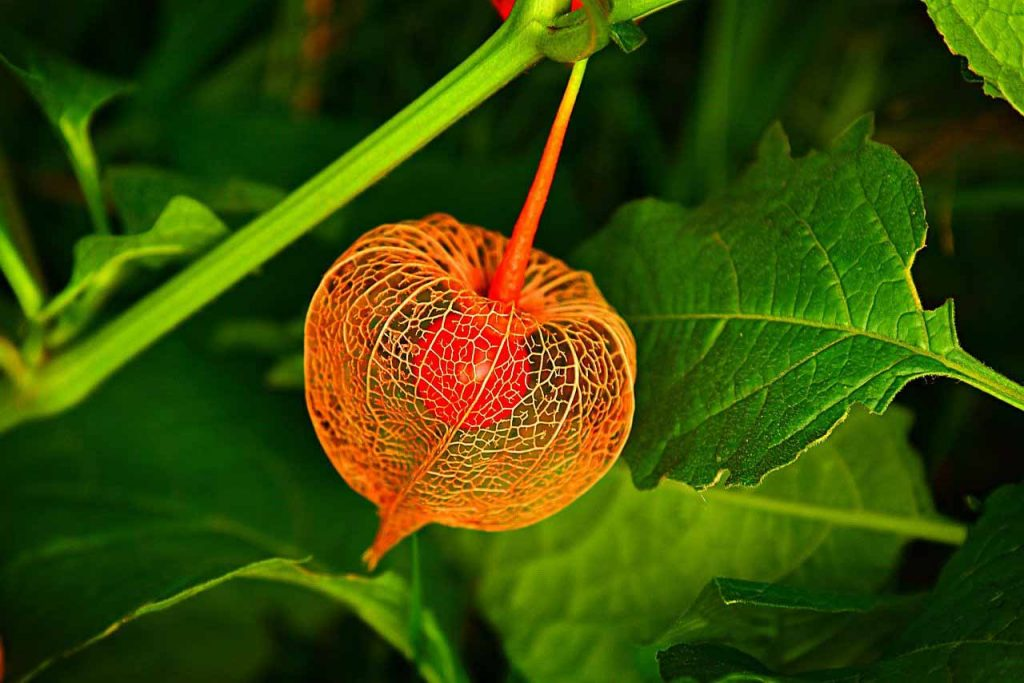 plants for the fall and winter: Chinese Lanterns provide late season interest in the garden.