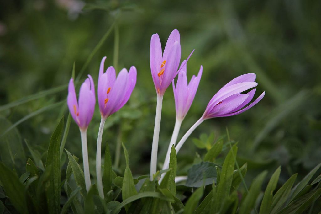 """Purple autumn crocuses are also known as """"Naked Ladies"""""""