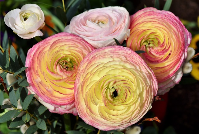 Pink and yellow ranunculus flowers