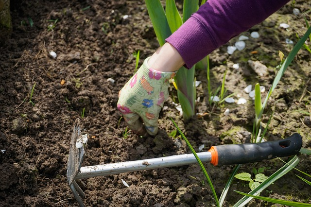 Woman in gloves hand-picks weeds beside a hand-weeding tool.