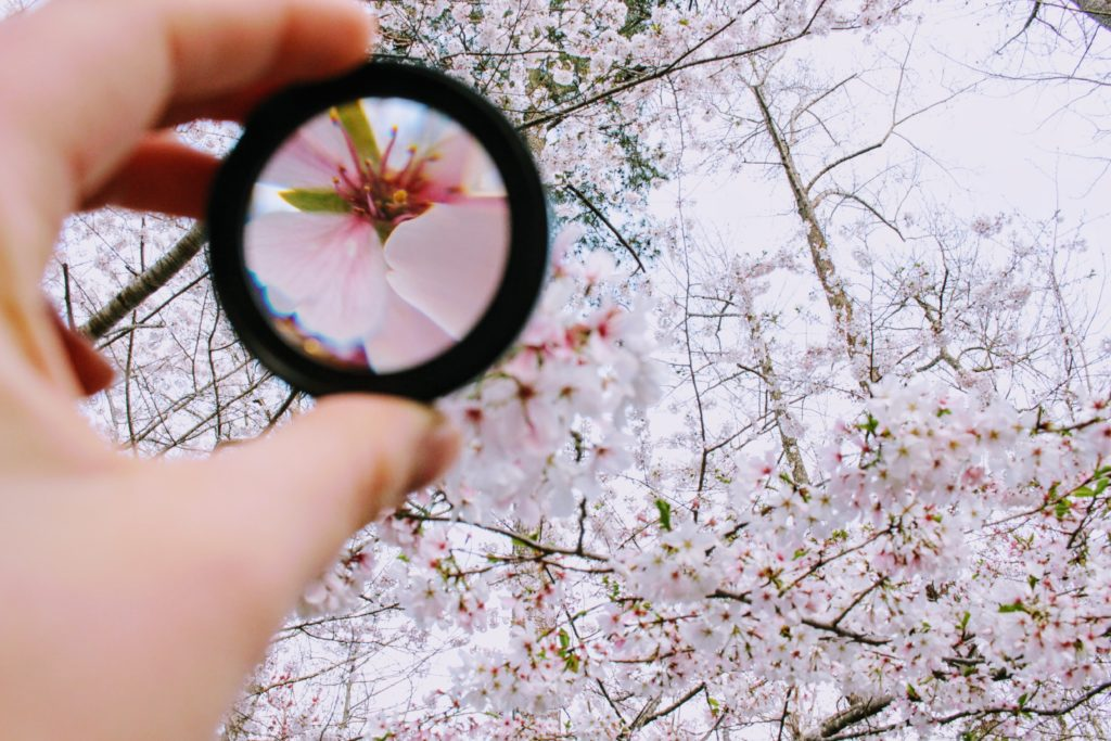 Person holding a low vision magnifier to clearly see a cherry blossom tree.