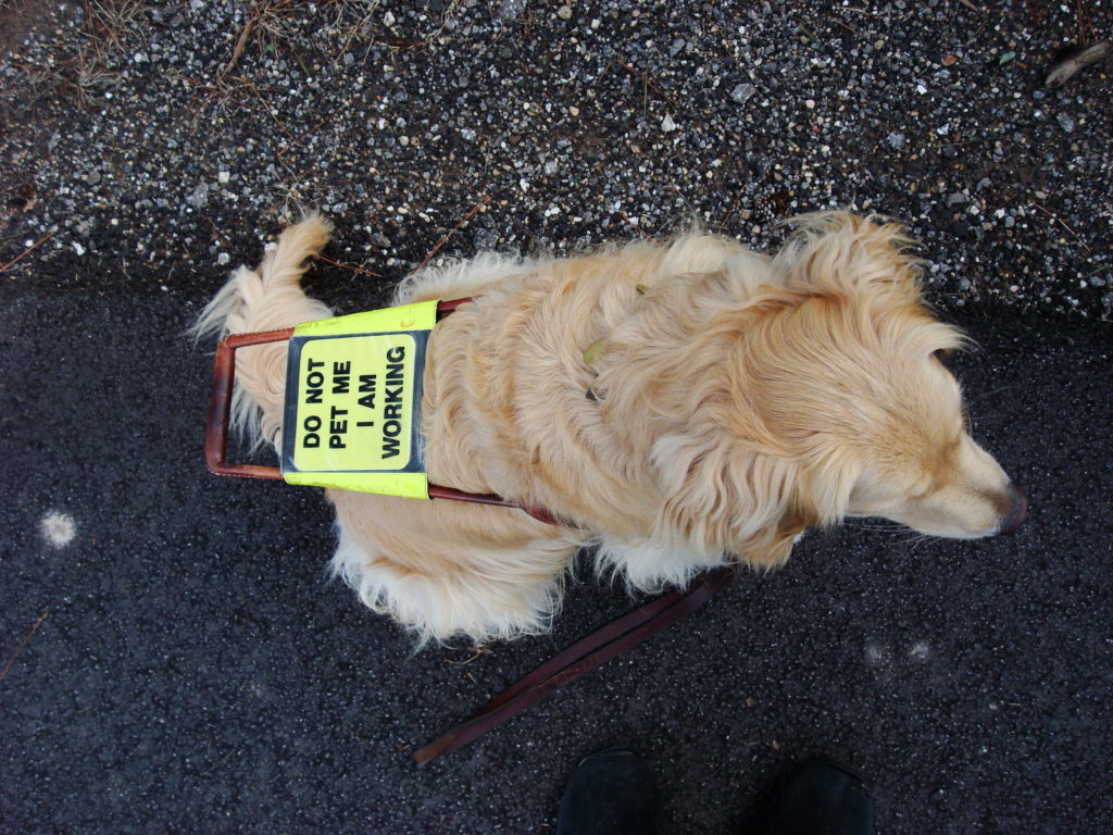 "Guide dog with sign that says ""do not pet me I am working'"