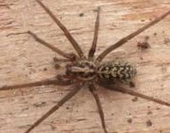 Giant House Spider Oregon 5