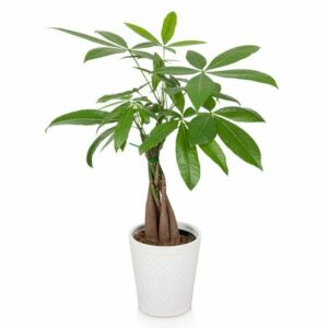 Things To Know About Money Tree Plant