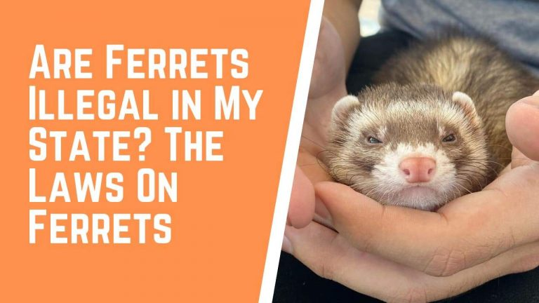 Are Ferrets Illegal In My State