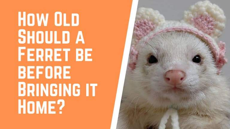 How Old Should a Ferret be before Bringing it Home