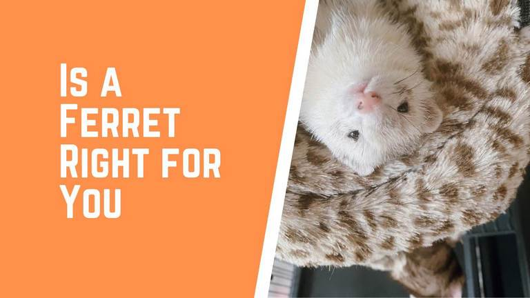 Is a Ferret Right for You