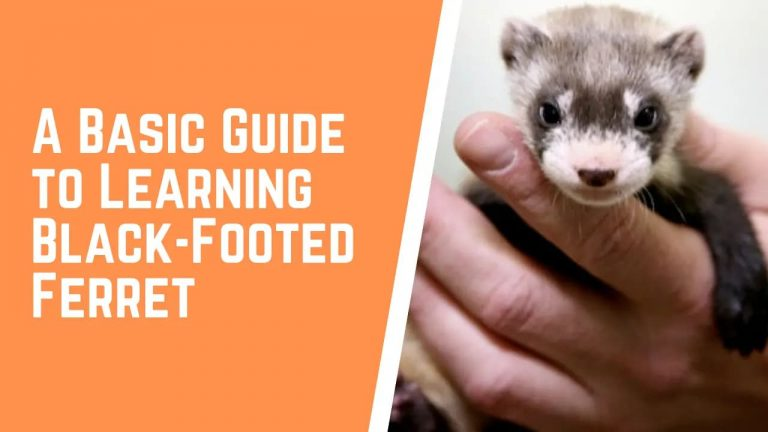 black footed ferret as pet