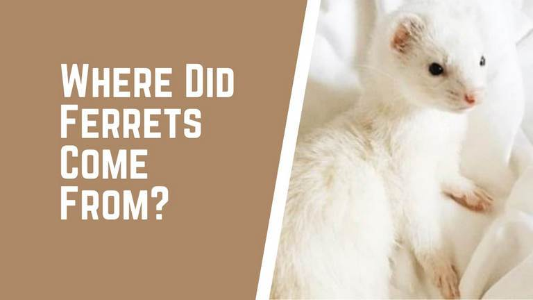 where did ferrets come from?