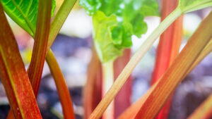 Rhubarb Growing in the Garden