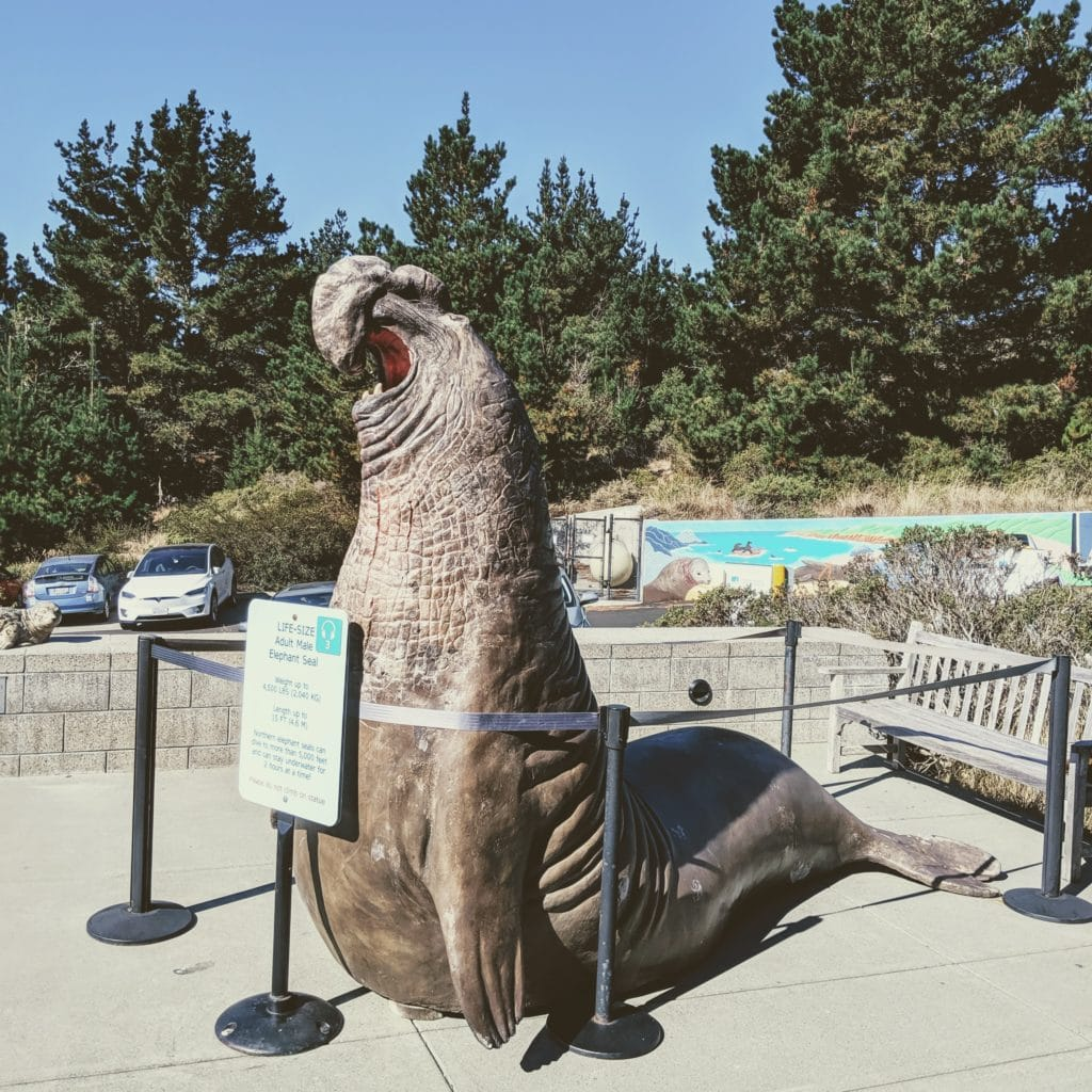 LIFE-SIZE Adult Male Elephant Seal