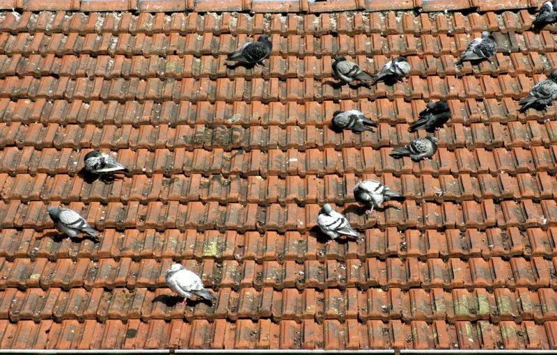Hygiene Risks Associated With Roof Nesting Birds