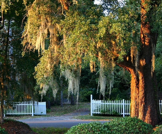 Spanish moss in Myrtle beach area