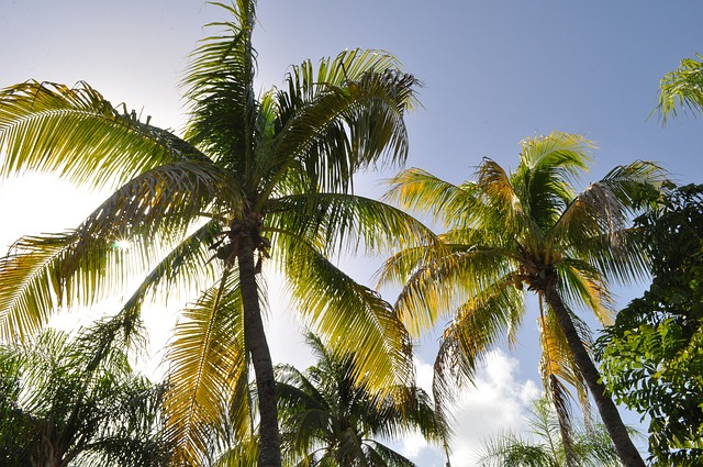 coconut trees in dominican republic
