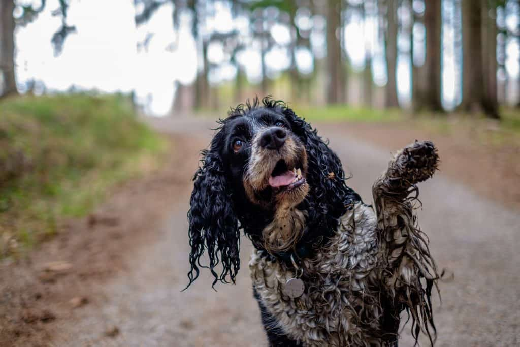 Hyperkeratosis in Dogs is a painful condition for some dogs