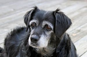 Alzheimer's in Dogs is actually known as Canine Cognitive Dysfunction Syndrome.