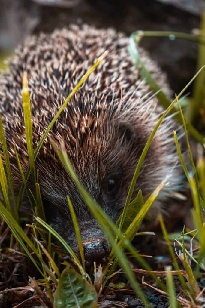 Remove Porcupine Quills from a dog safely.
