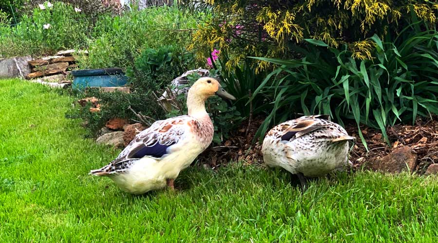 Best Bedding For Your Duck Coop Or Run, Best Bedding To Use For Ducks