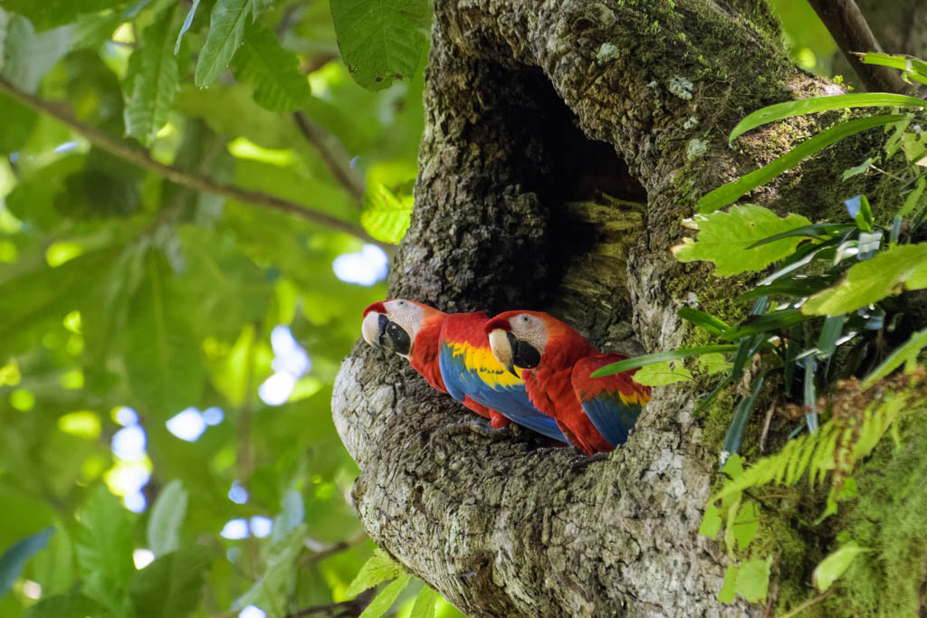A pair of wild scarlet macaws in their nest in an old cashew tree in the Carara National Park in Costa Rica