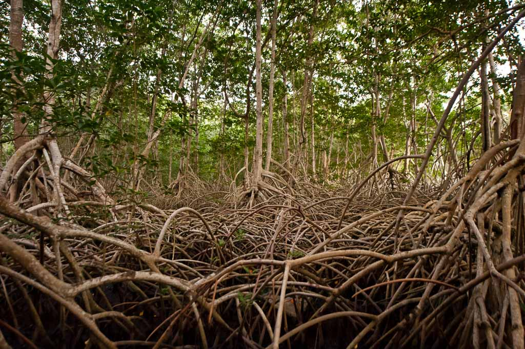 This is an image of a thick mangrove forest growing on the pacific coast of Guatemala.