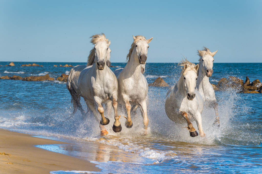 Herd of White Camargue Horses fast running through water in sunset light. Parc Regional de Camargue - Provence, France