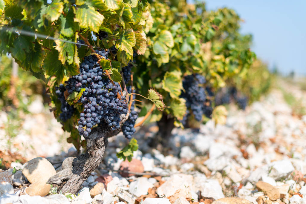 Ripe grapes on vine in september just before been picked to produce wine at Chateauneuf-du-Pape, Provence, France.