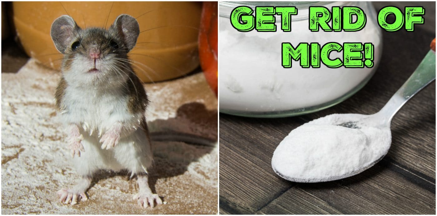 6 Clever Ways To Get Rid Of Mice That Actually Work Kitchen Fun
