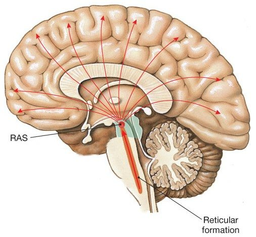 scientific image of the brain - the ascending reticular activity system