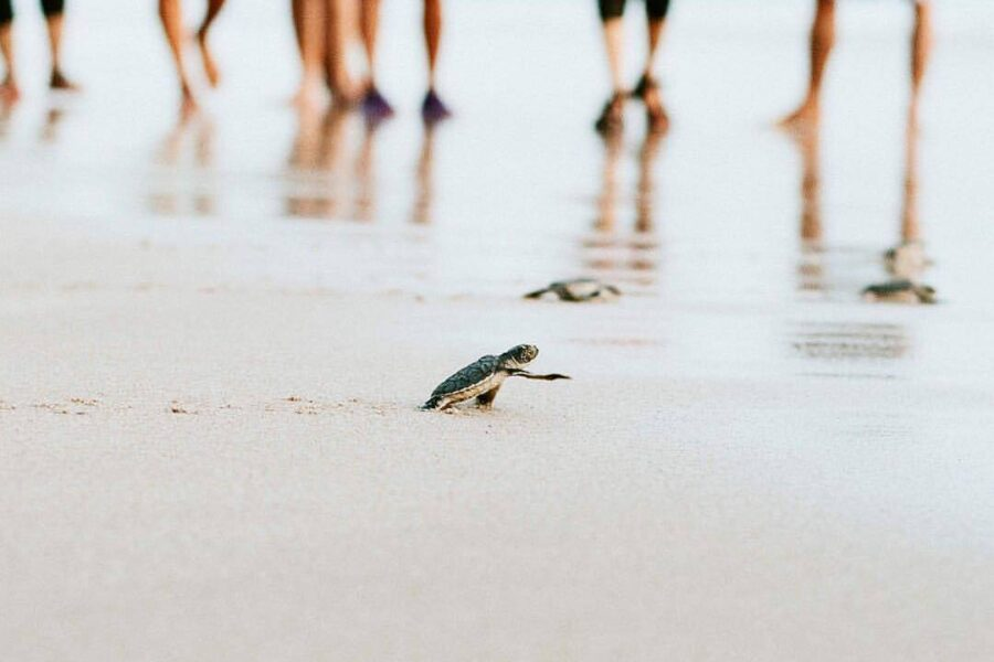 Releasing hatchling to the ocean. One of  #exploresukabumi experiences in #Ujung...