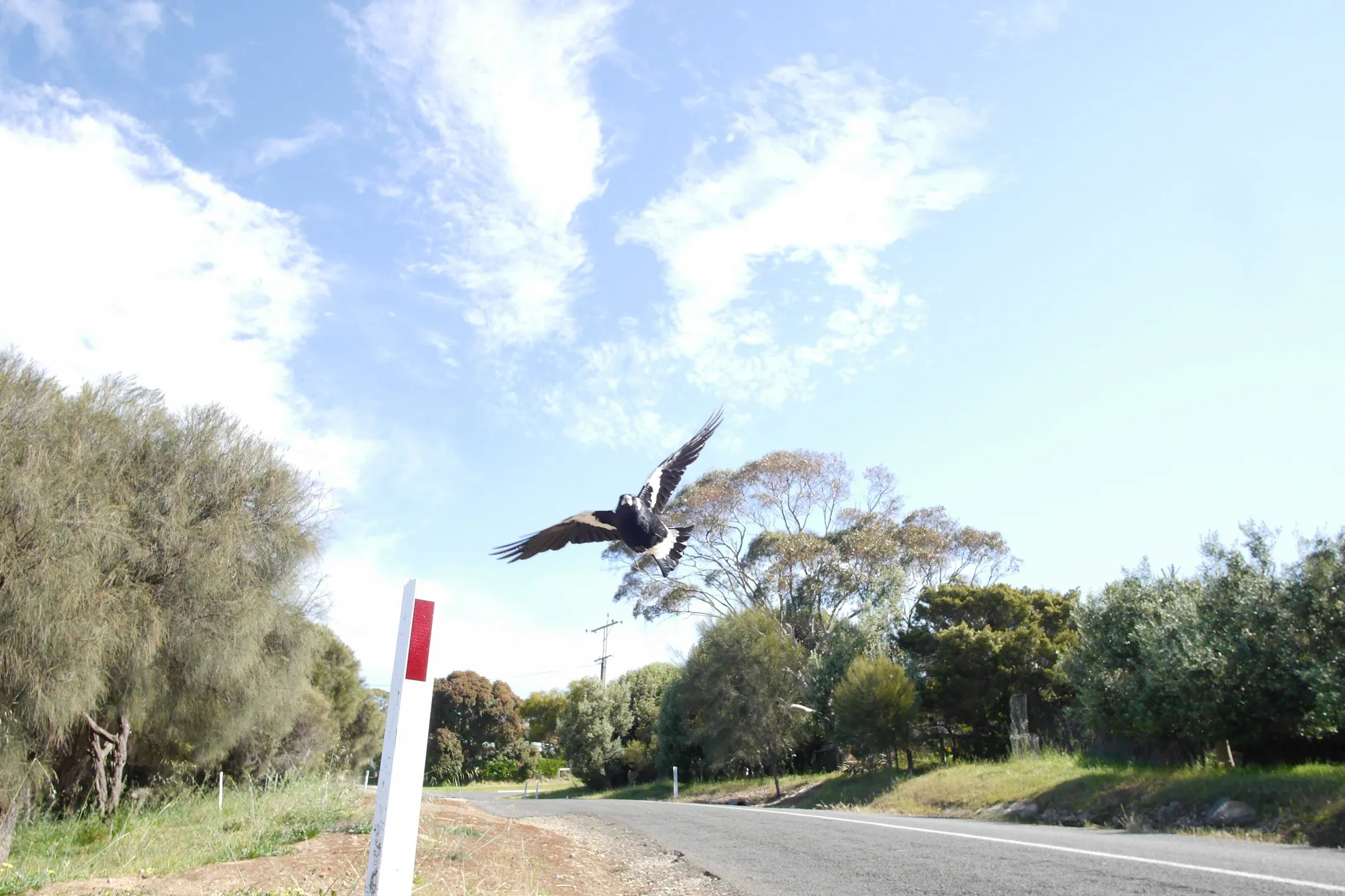 Bird attacks on humans are growing more common as people continue to encroach on bird nesting territory, wildlife experts warn. Swooping Magpie In Australia Attacks Cyclist Who Dies Fleeing Police