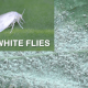 White Flies