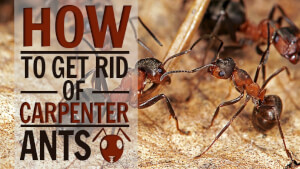 How To Get Rid Of Carpenter Ants In House 2