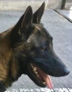 Excellent Working Line Belgian Malinois for Sale