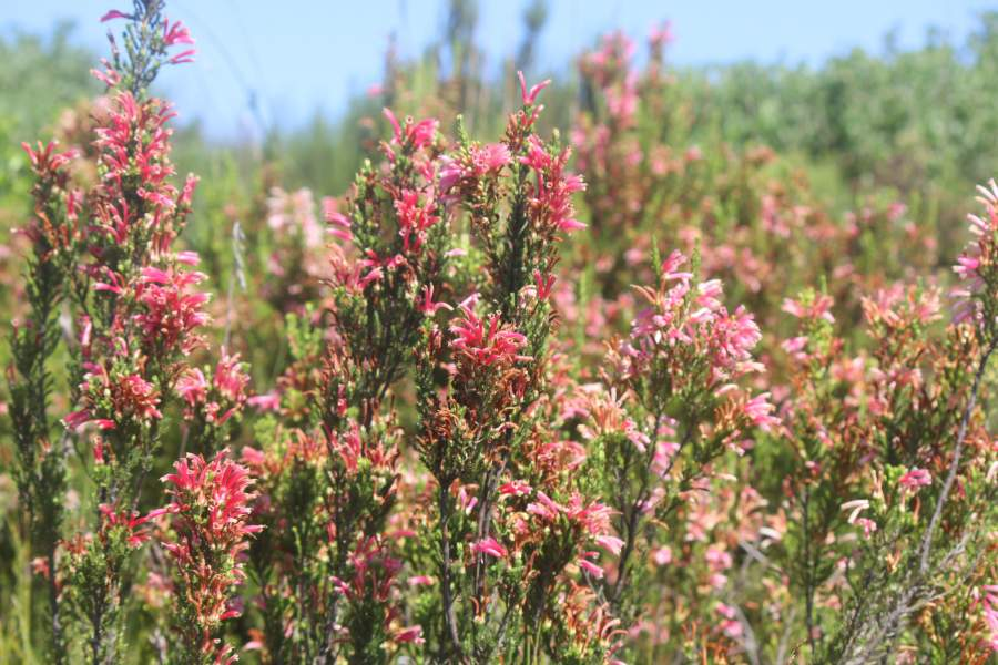 Critically endangered Sand Fynbos on the Brenton-on-Lake hills are in full flower on land that is now completely free of invasive alien plants. The land is managed by private landowners in collaboration with SCLI and with the support of the Table Mountain Fund (TMF).