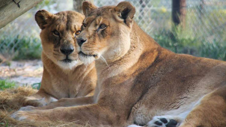 Rescued from a Failing Zoo, Two Lionesses Celebrate FirstYear at new South African 'forever home'
