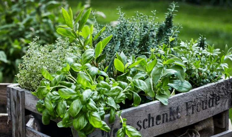 HERBS FOR HOME!