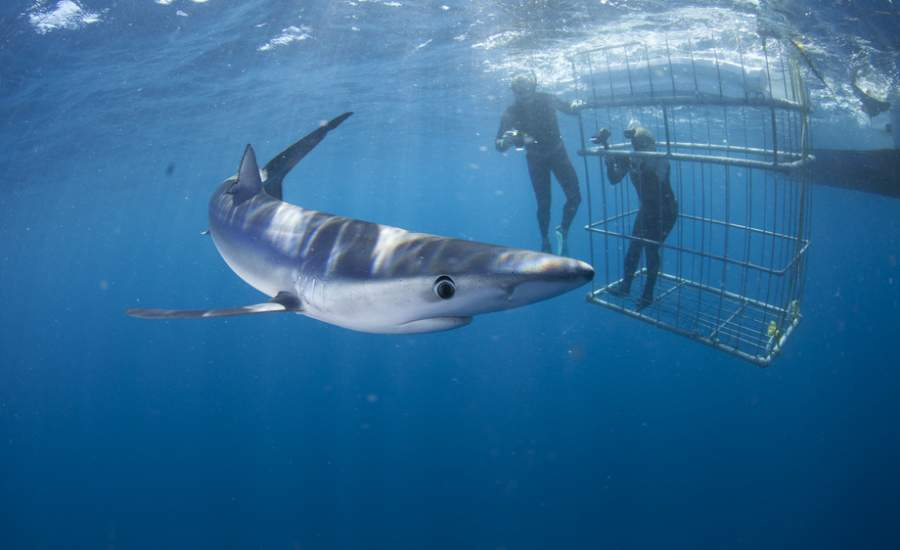 Shark Cage Diving South Africa | Apex Shark Expiditions