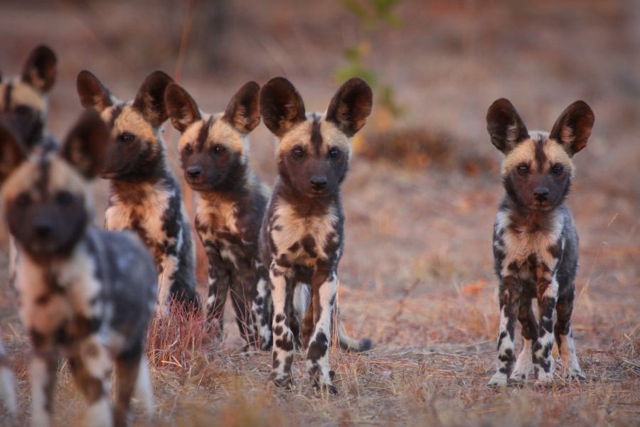 Unique conservation opportunity with Tintswalo Lapalala to help collar the Wild Dogs of the Waterburg