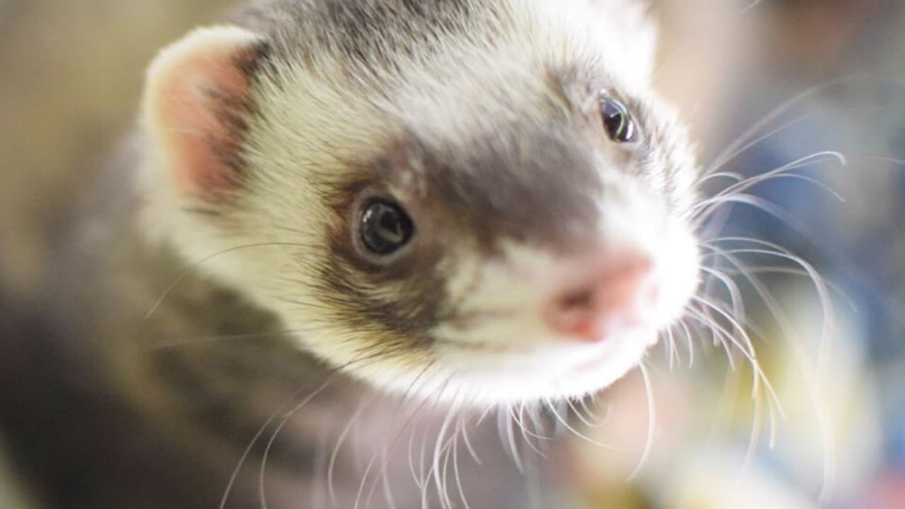 can you feed a ferret guinea pig food