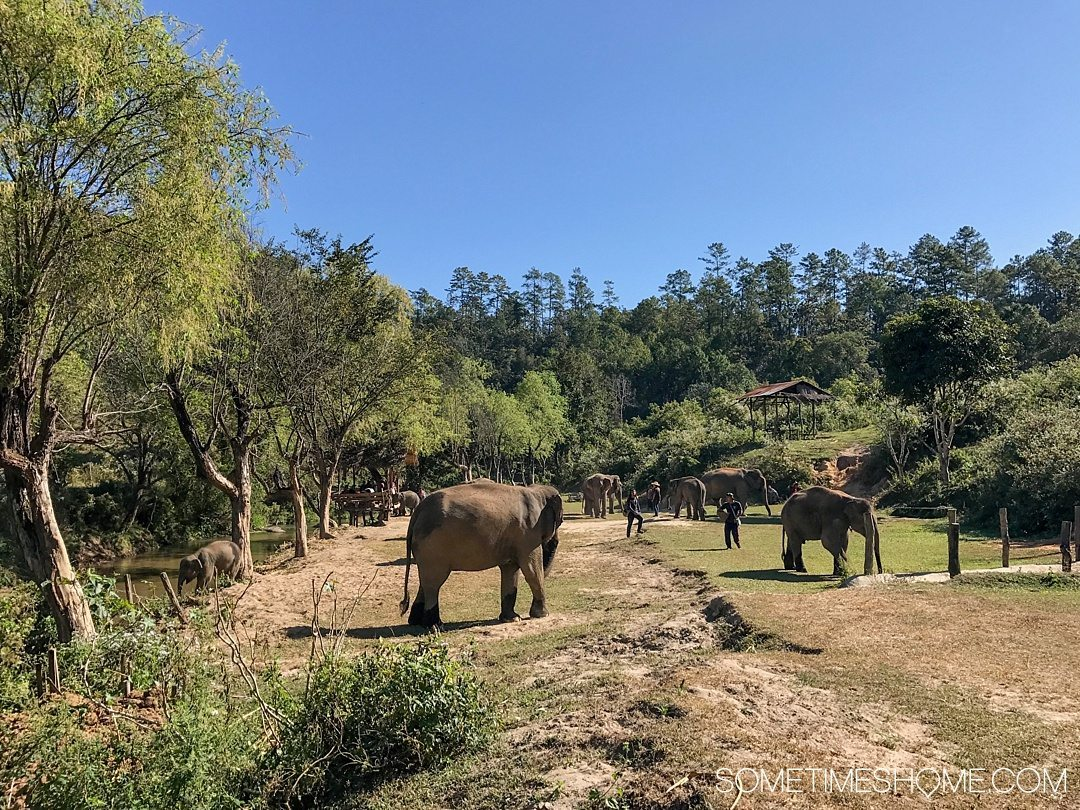 Vital FAQs Answered About Patara Elephant Farm in Chiang Mai. Information by Sometimes Home travel blog. A photo of the elephants on the farm.