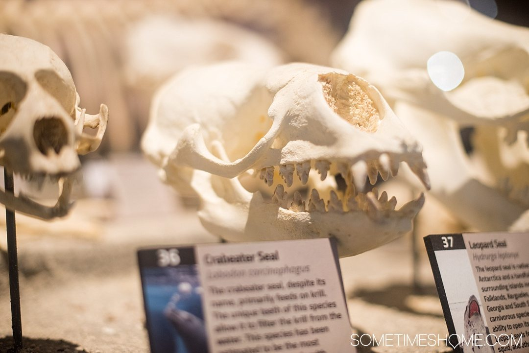 Orlando indoor activities for adults: Skeletons Museum of Osteology. It's a great thing to do for adults or kids, indoors on International Drive at the new attraction area in Florida: I-Drive 360. Learn about sea and land creatures. Click to see a complete review and why it's such a cool place to visit! #OrlandoFL #Skeletons #Bones
