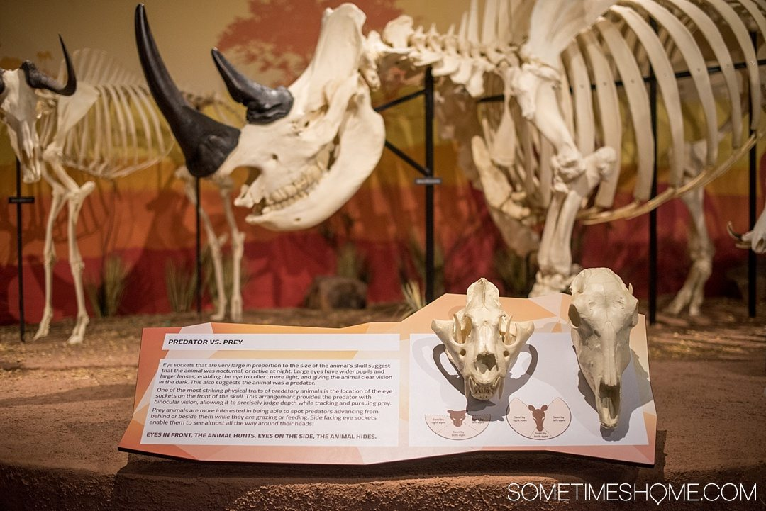 Orlando indoor activities for adults: Skeletons Museum of Osteology. It's a great thing to do for adults or kids, indoors on International Drive at the new attraction area in Florida: I-Drive 360. Learn about predators and their prey through their in-tact remains. Click to see a complete review and why it's such a cool place to visit! #OrlandoFL #Skeletons #Bones